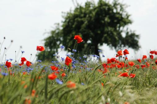 Boulevard「rye field with poppy and cornflowers」:スマホ壁紙(15)