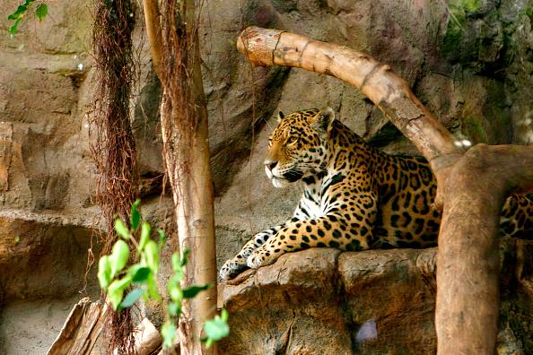 Animals Hunting「Jaguar, Loro Parque, Tenerife, Canary Islands, 2007.」:写真・画像(9)[壁紙.com]