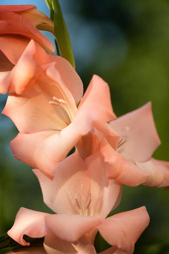 flower「Salmon Gladiolus Flower」:スマホ壁紙(17)