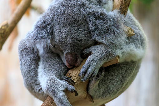 Koala「koalabear」:スマホ壁紙(14)