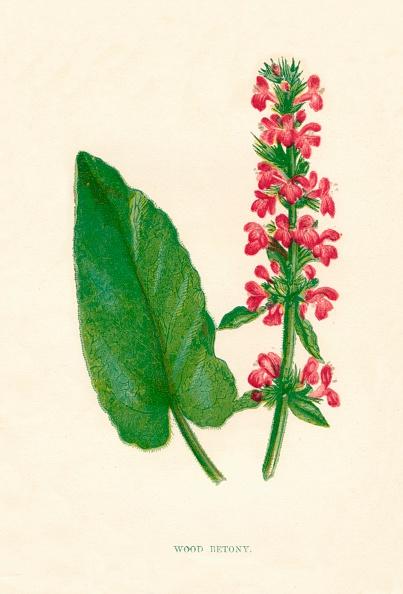 Wildflower「Wood Betony, c1891, (1891)」:写真・画像(16)[壁紙.com]