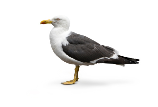 Herring Gull「Isolated image of Larus argentatus - Herring Gull」:スマホ壁紙(1)
