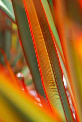 New Zealand Culture「Sunlit 'Maori Queen' Flax (Harakeke)」:スマホ壁紙(12)
