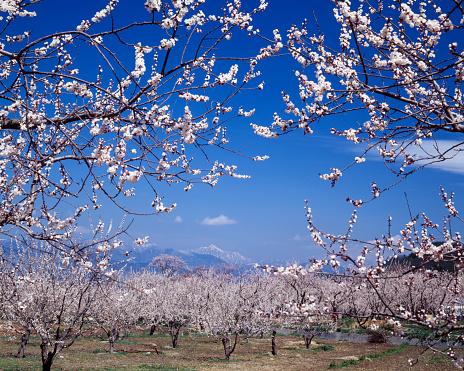 Apricot Tree「Apricot orchard in spring, Chikuma, Nagano Prefecture, Japan」:スマホ壁紙(14)