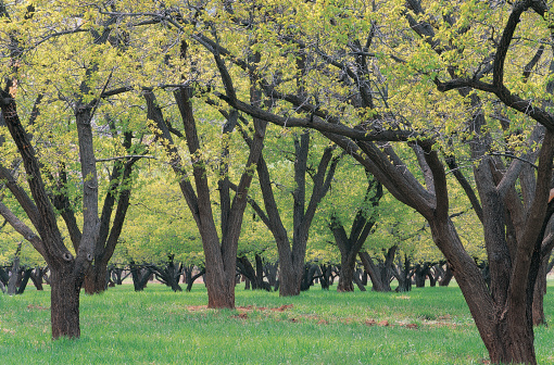 Apricot Tree「Apricot Orchard, Capital Reef National Park, Utah, USA」:スマホ壁紙(18)