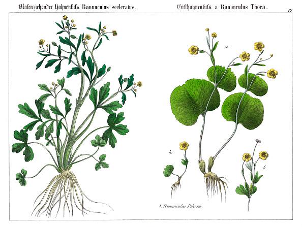 Celery「The Celery-Leaved Buttercup (Ranunculus Sceleratus) And The Thora Buttercup (A Ranunculus Thora). Lithography. From: Die Giftgewaechse Deutschlands Und Der Schweiz. Verlag J. F. Schreiber: Esslingen (1867).」:写真・画像(7)[壁紙.com]