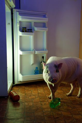 Domestic Pig「Animal thief - pig and refrigerator」:スマホ壁紙(14)