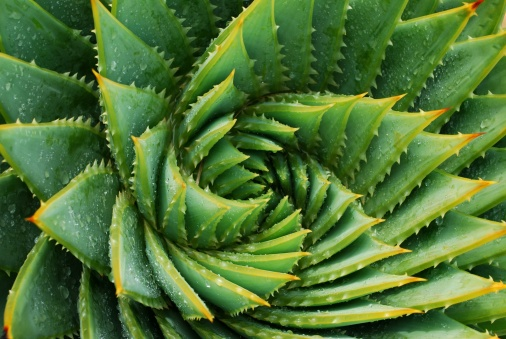 Natural Pattern「Cactus Background (Aloe Polyphylla)」:スマホ壁紙(19)