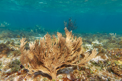 Soft Coral「Sea rod soft corals living in shallow water on Smith's Reef, Providenciales, Turks and Caicos.」:スマホ壁紙(2)