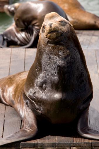 Sea Lion「Seals basking on a pontoon at Pier 39 in San Francisco, California, United States of America, North America」:スマホ壁紙(9)