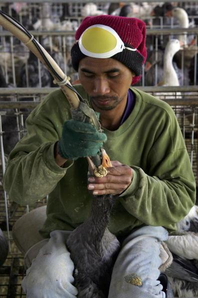雁「Force Feeding Of Geese To Be Banned In Israel」:写真・画像(18)[壁紙.com]