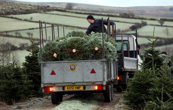 Environmental Issues「Christmas Tree Farmers Enjoy Bumper Harvest」:写真・画像(14)[壁紙.com]
