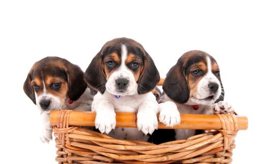 Baby animal「かわいい子犬のバスケット」:スマホ壁紙(9)