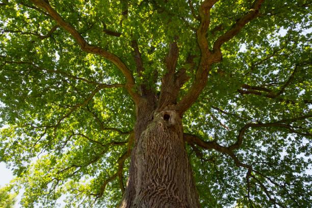 Germany, Bavaria, Lower Franconia, Pedunculate Oak, Quercus robur:スマホ壁紙(壁紙.com)
