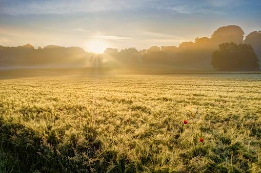 Nature Reserve「Germany, Bavaria, Swabia, Tussenhausen, Grain field and morning fog at sunrise, Augsburg Western Woods Nature Park」:スマホ壁紙(1)