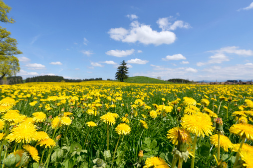 春「Germany, Bavaria, East Allgaeu, Bernbeuren, view to meadow covered with dandelions (Taraxacum officinale)」:スマホ壁紙(1)