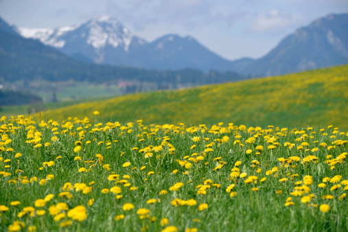 花畑「Germany, Bavaria, East Allgaeu, Hopferau, view to flowering dandelions, (Taraxacum officinale) in front of Alps」:スマホ壁紙(18)
