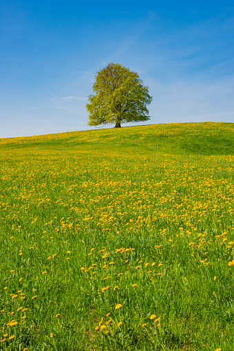 Single Tree「Germany, Bavaria, East Allgaeu, Hopferau, view to flowering dandelions and single copper beech in the background」:スマホ壁紙(8)