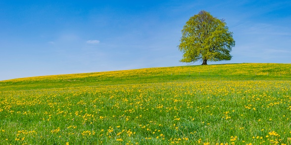 Single Tree「Germany, Bavaria, East Allgaeu, Hopferau, view to flowering dandelions and single copper beech in the background」:スマホ壁紙(10)