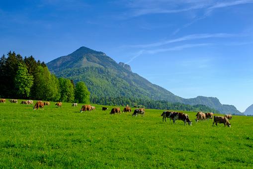 Eating「Germany, Bavaria, Upper Bavaria, Chiemgau, Achen Valley, Hochplatte, cows on meadow near Schleching」:スマホ壁紙(15)