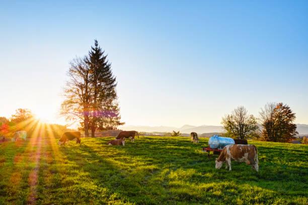 Germany, Bavaria, Upper Bavaria, Alpine foothills, cow pasture in Peretshofen near Dietramszell at sunrise:スマホ壁紙(壁紙.com)