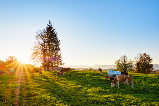 Domestic Cattle「Germany, Bavaria, Upper Bavaria, Alpine foothills, cow pasture in Peretshofen near Dietramszell at sunrise」:スマホ壁紙(17)