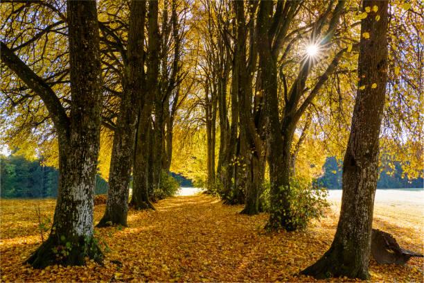 Germany, Bavaria, Upper Bavaria, Kleindingharting, Linden tree alley in autumn:スマホ壁紙(壁紙.com)
