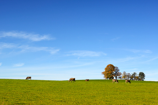 巻層雲「Germany, Bavaria, Upper Bavaria, Muensing, Degerndorf, Cows on meadow, Chapel in the background」:スマホ壁紙(2)