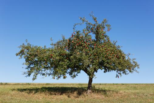 Single Tree「Germany, Bavaria, View of apple tree」:スマホ壁紙(0)