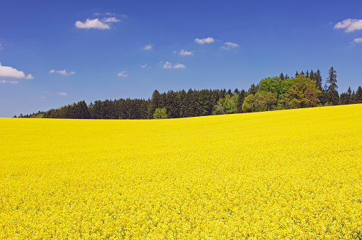 アブラナ「Germany, Bavaria, view to blossoming rape field」:スマホ壁紙(8)