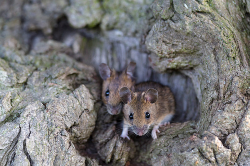 Animal Whisker「Germany, Bavaria, Two yellow-necked Mouse on rock, close up」:スマホ壁紙(1)