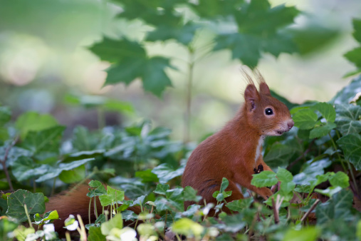 リス「Germany, Bavaria, Red squirrel in forest」:スマホ壁紙(1)