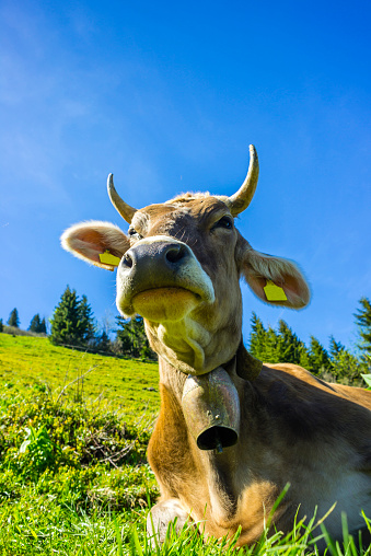 Horned「Germany, Bavaria, Allgaeu, Cattle, dairy cow, portrait」:スマホ壁紙(7)