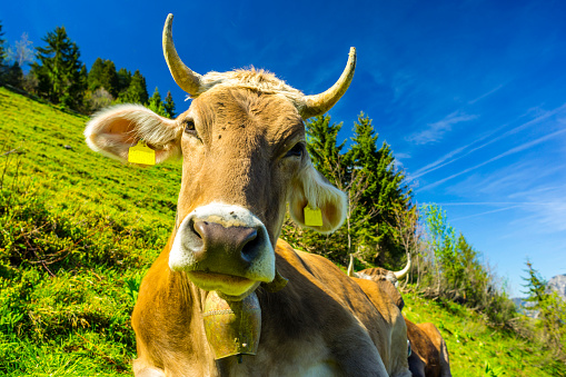 カメラ目線「Germany, Bavaria, Allgaeu, Cattle, dairy cow, portrait」:スマホ壁紙(1)