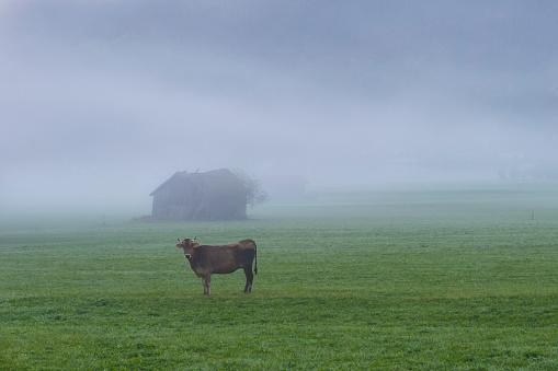 Solitude「Germany, Bavaria, Allgaeu, cattle on an alpine meadow near Oberstdorf, morning fog」:スマホ壁紙(4)