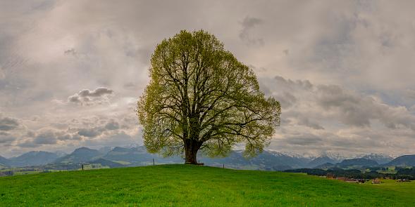 Single Tree「Germany, Bavaria, Allgaeu, Friedenslinde at Wittelsbacher Hoehe」:スマホ壁紙(7)