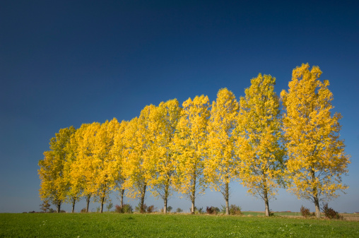 Aspen Tree「Germany, Bavaria, Row of aspen trees (Populus tremula)」:スマホ壁紙(12)