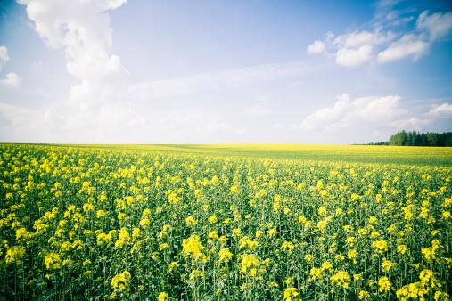 花畑「Germany, Bavaria, Rape field, Brassica Napus」:スマホ壁紙(1)