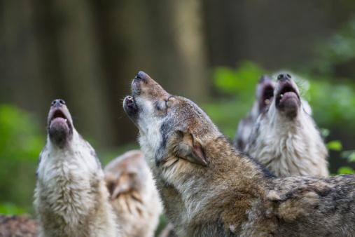 Wolf「Germany, Bavaria, Howling gray wolfs」:スマホ壁紙(15)