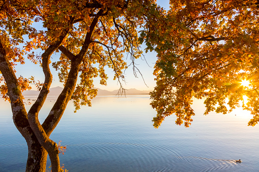 Atmosphere「Germany, Bavaria, Chiemsee, tree with autumn leaves against evening sun」:スマホ壁紙(0)