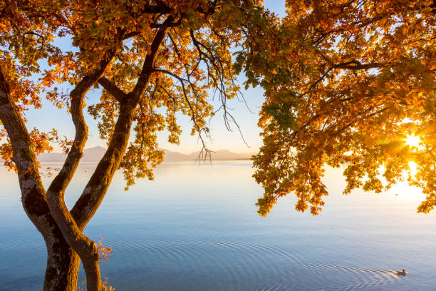 Germany, Bavaria, Chiemsee, tree with autumn leaves against evening sun:スマホ壁紙(壁紙.com)
