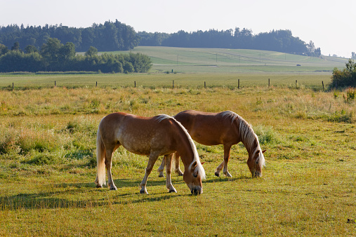 Eating「Germany, Bavaria, horses on paddock near Rins」:スマホ壁紙(14)