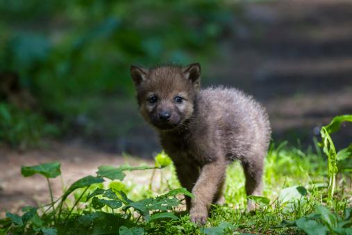 Wolf「Germany, Bavaria, Gray wolf pup walking in forest」:スマホ壁紙(17)