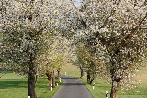 Treelined「Germany, Bavaria, Franconia, Upper Franconia, Franconian Switzerland, View of empty country road with sweet cherry tree blossoms」:スマホ壁紙(3)