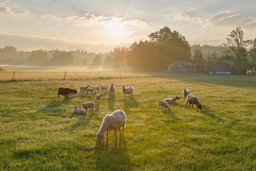Pasture「Germany, Bavaria, flock of sheep at Simssee」:スマホ壁紙(19)