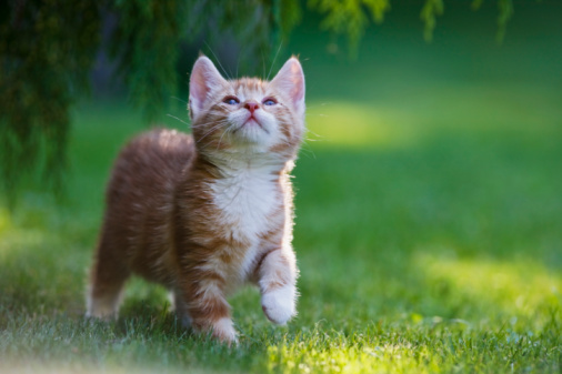 Walking「Germany, Bavaria, Ginger Kitten in grass looking up, portrait」:スマホ壁紙(10)