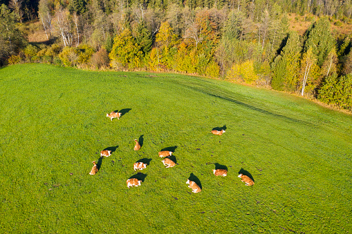 Eating「Germany, Bavaria, Bad Toelz, Aerial view of cows on meadow」:スマホ壁紙(9)