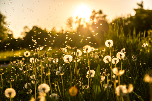Dandelion「Germany, Bavaria, Summer meadow in evening light」:スマホ壁紙(1)
