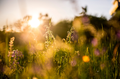 Inflorescence「Germany, Bavaria, Summer meadow in evening light」:スマホ壁紙(12)