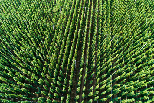 Crop - Plant「Germany, Bavaria, hop field, aerial view」:スマホ壁紙(8)